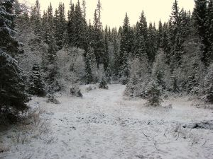Norwegian boreal forest in early winter. Author: Orcaborealis